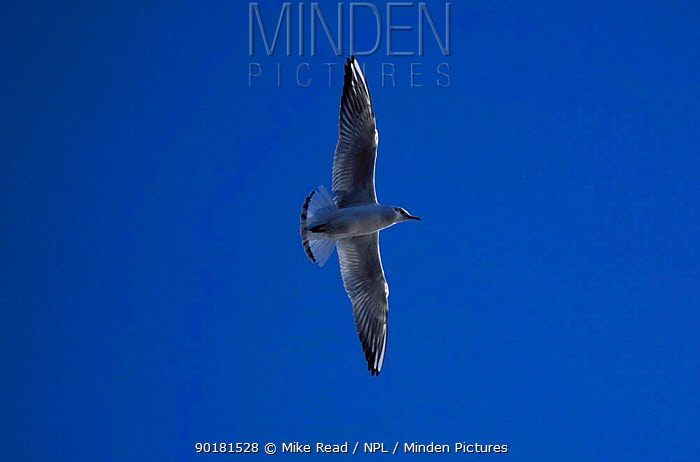 Black-headed gull flying (Larus ridibundus) Dorset UK  -  Mike Read/ npl