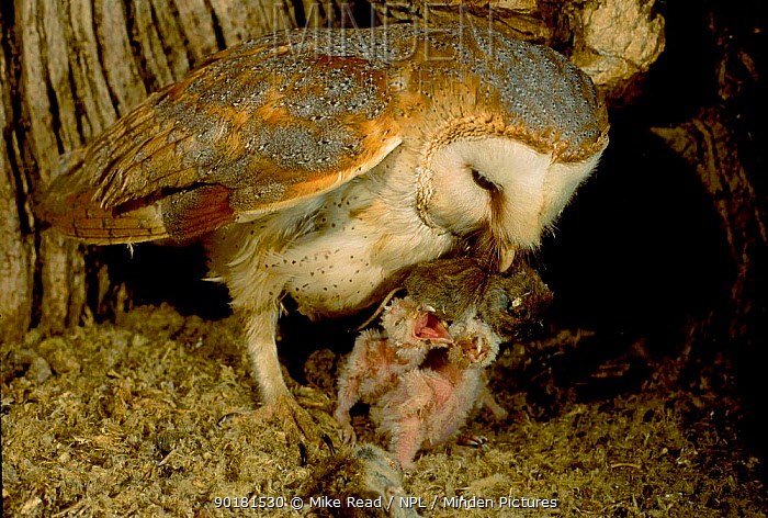 Barn owl brings prey to chicks in nest (Tyto alba) UK  -  Mike Read/ npl