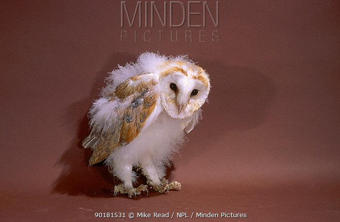 Barn owl chick 9-10 weeks-old (Tyto alba)  -  Mike Read/ npl