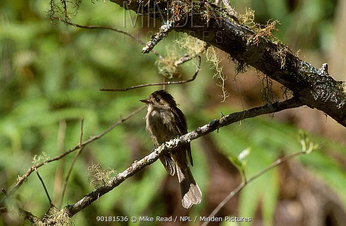 Jamaican pewee (Contopus caribaeus pallidus) Jamaica (emic)  -  Mike Read/ npl