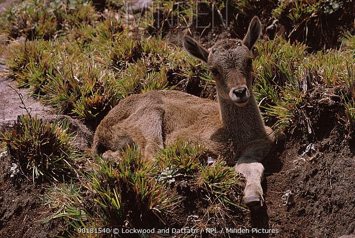 Nilgiri tahr young resting (Hemitragus hylocrius) Eravikulam NP, Kerala, India  -  Lockwood & Dattatri/ npl