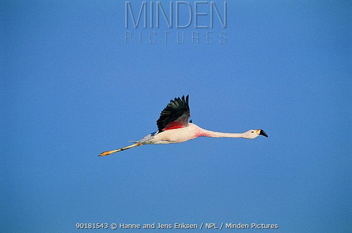 Andean flamingo in flight (Phoenicoparrus andinus) Salar de Atacama, Chile South America  -  Hanne & Jens Eriksen/ npl