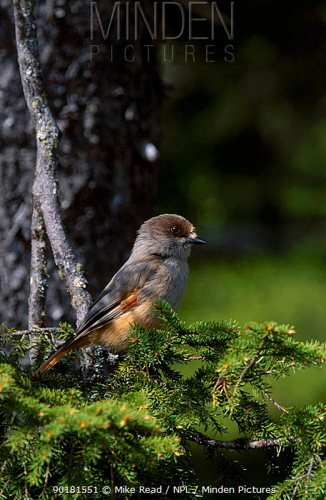 Siberian jay perched in conifer (Perisorius infaustus) Kuusamo Finland  -  Mike Read/ npl
