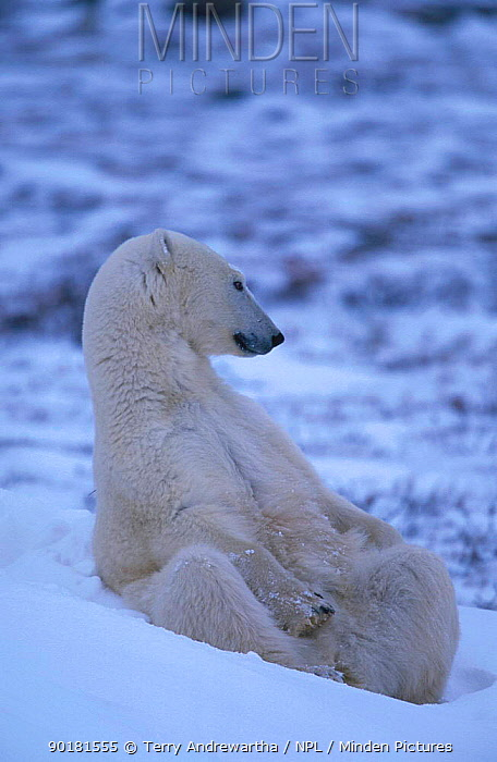 Polar bear sitting in snow (Ursus maritimus) Hudson Bay Canada  -  Terry Andrewartha/ npl