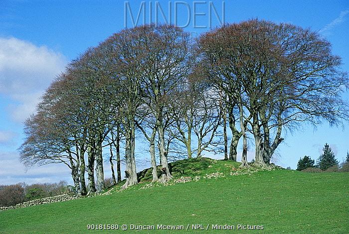 European beech plantation on mound (Fagus sylvaticus) in field Scotland, UK  -  Duncan McEwan/ npl