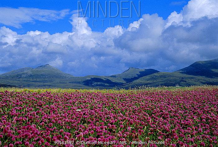 Red clover flowering in machair (Trifolium pratense) Outer Hebrides, Scotland, UK  -  Duncan McEwan/ npl