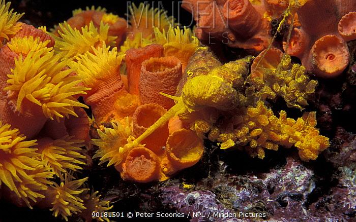 Wentletrap snail (Epitonium billeeanum) feeds on Tubastrea, Andaman Sea Note eggs resemble  -  Peter Scoones/ npl