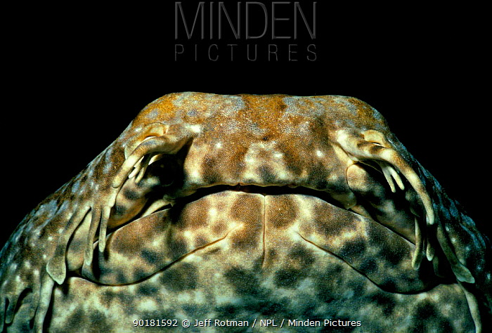 Close up of Wobbegong shark (Orectolobus ornatus) West Australia  -  Jeff Rotman/ npl