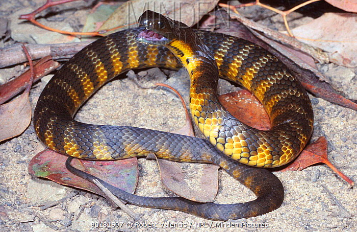 Female sub adult Eastern, Mainland tiger snake in strike pose (Notechis scutatus) Ararat, Victoria  -  Robert Valentic/ npl