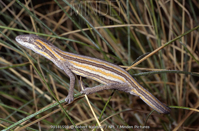 Gecko (Strophurus, Diplodactylus taeniatus) Queensland, Australia  -  Robert Valentic/ npl