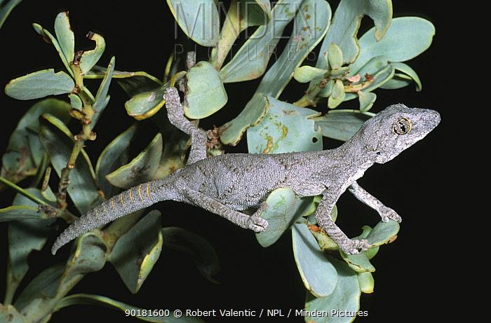 Western spiny tailed gecko (Diplodactylus, Strophurus strophurus) Western Australia  -  Robert Valentic/ npl