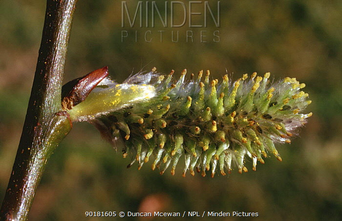 Female Willow catkins (Salix sp) UK  -  Duncan McEwan/ npl