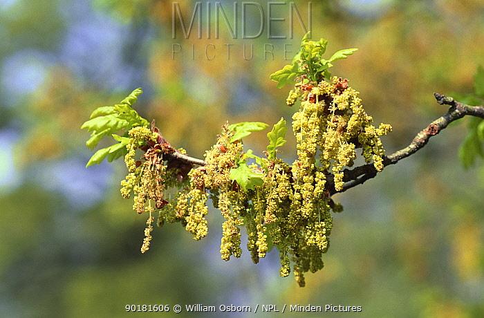 English Oak (Quercus robur) spring leaf and catkins in close-up, Wiltshire, UK  -  William Osborn/ npl