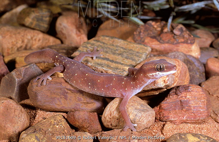 Gecko (Diplodactylus savagei) Western Australia  -  Robert Valentic/ npl