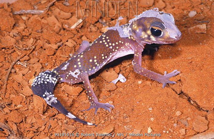Thick-tailed gecko (Underwoodisaurus milii) juvenile moulting, NSW, Australia  -  Robert Valentic/ npl