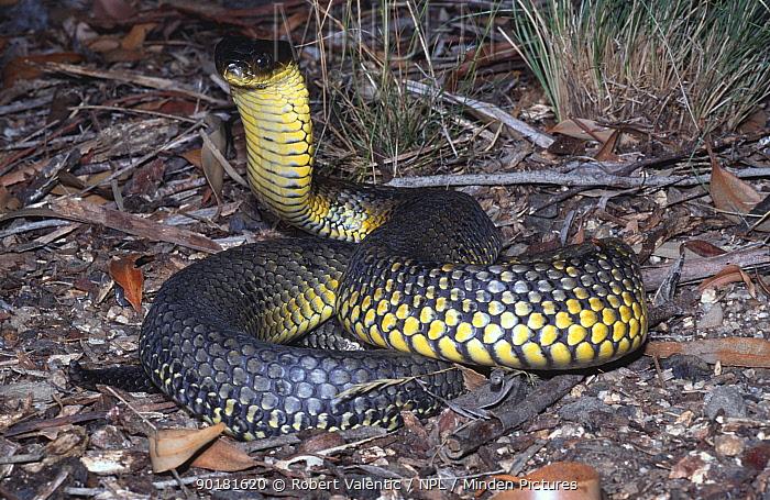Western tiger snake, male in strike pose (Notechis scutatus occidentalis) Western Australia  -  Robert Valentic/ npl