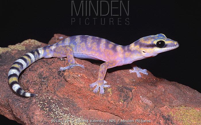 Marbled velvet gecko, FEmale (Oedura marmorata) Northern Territory, Australia  -  Robert Valentic/ npl