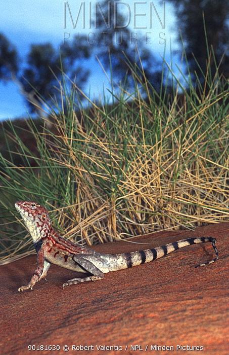 Ring tailed dragon male (Ctenophorus caudicinctus) Western Australia  -  Robert Valentic/ npl