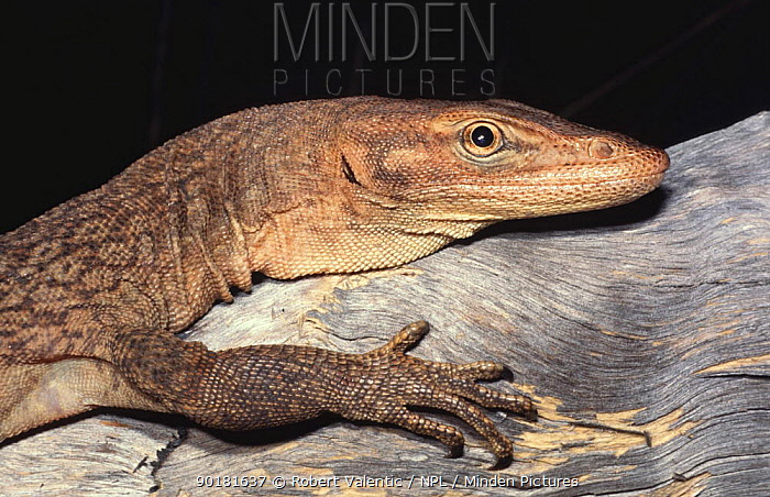 Freckled monitor lizard, male (Varanus tristis orientalis) Northern Territory, Australia  -  Robert Valentic/ npl