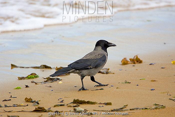 Hooded crow on beach (Corvus corone cornix) Scotland  -  David Kjaer/ npl