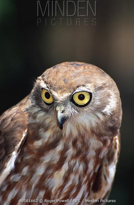 Barking owl portrait (Ninox connivens) Australia, captive  -  Roger Powell/ npl