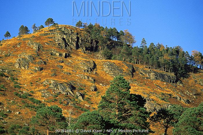 Scots pine (Pinus sylvestris) and Larch (Larix decidua) on hillside, Glen Etive, Scotland  -  David Kjaer/ npl