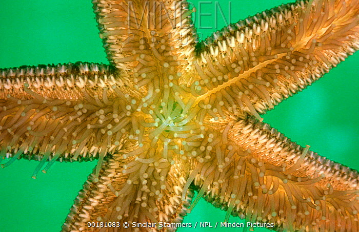 Common starfish tube feet (Asterias rubens) UK  -  Sinclair Stammers/ npl