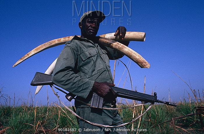 National Park warden with machine gun carrying African elephant ivory (Loxodonta africana) from poached, dead elephants, Garamba NP, Congo  -  Jabruson/ npl