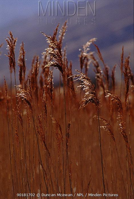 Common reed (Phragmites australis) Scotland, UK, Europe  -  Duncan McEwan/ npl