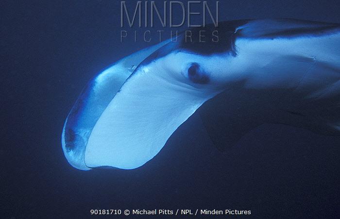 Pacific manta ray, close up of head (Manta alfredi) Yap, Micronesia  -  Michael Pitts/ npl