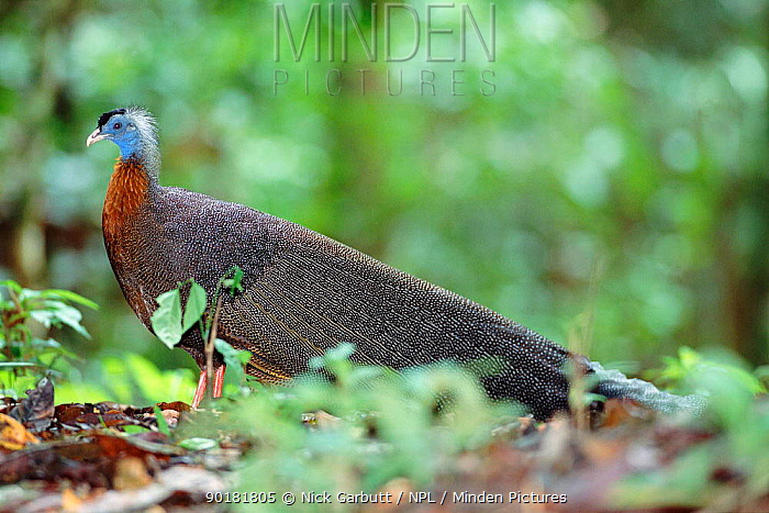 Argus pheasant male at 'dancing ground' (Argusianus argus) Danum valley, Sabah, Borneo  -  Nick Garbutt/ npl