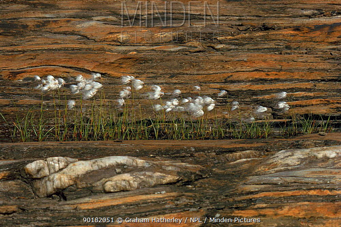 Common Cotton grass (Eriophorum angustifolium) in front of rock strata Norway, Europe  -  Graham Hatherley/ npl