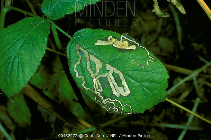 Bramble leaf (Rubus fructicosus) with serpentine mine of leaf-mining moth UK  -  Geoff Dore/ npl