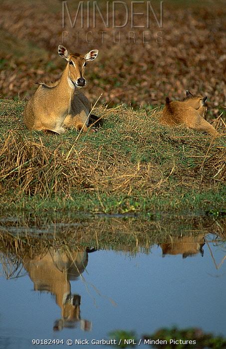 Nilgai with calf (Boselaphus tragocamelus) Keoladeo Ghana NP India Rajasthan  -  Nick Garbutt/ npl