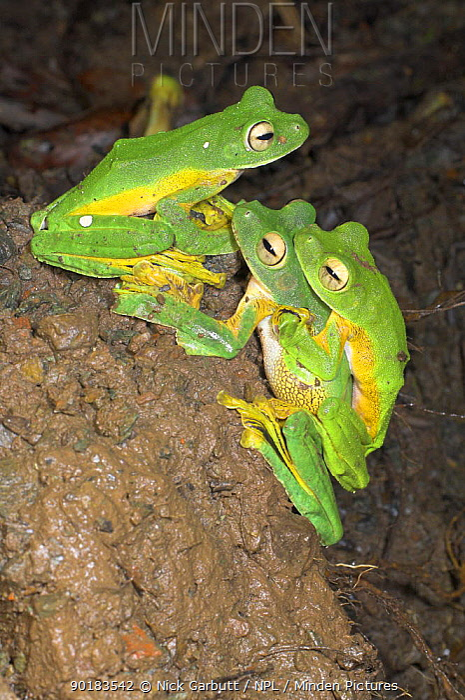 Wallace's flying, gliding frog (Rhacophorus nigropalmatus) at night congregating and breeding at temporary pool formed after rain, Danum Valley, Sabah, Borneo  -  Nick Garbutt/ npl