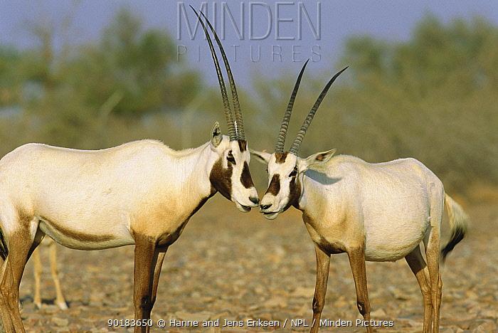 Arabian oryx (Oryx leucoryx) Jaaluni, Oman  -  Hanne & Jens Eriksen/ npl