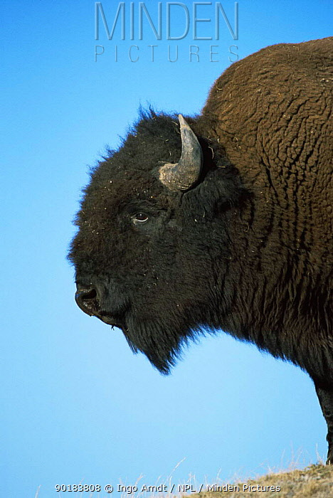 Profile of Bison bull (Bison bison) Yellowstone NP, Wyoming, USA  -  Ingo Arndt/ npl