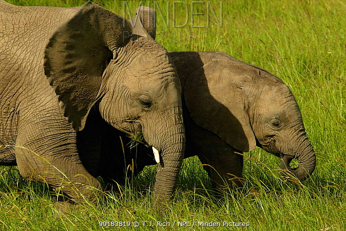 Baby African elephants grazing (Loxodonta africana) Masai Mara, Kenya, Africa  -  T.J. Rich/ npl