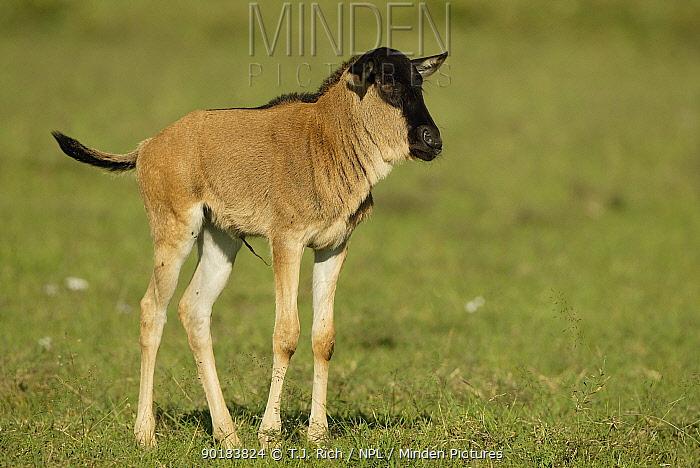Newborn wildebeest (Connochaetes taurinus) Masai Mara, Kenya, Africa  -  T.J. Rich/ npl