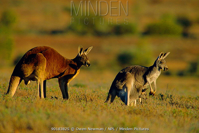 Male Red kangaroo with female carrying joey in pouch (Macropus rufus) Sturt NP, NSW  -  Owen Newman/ npl