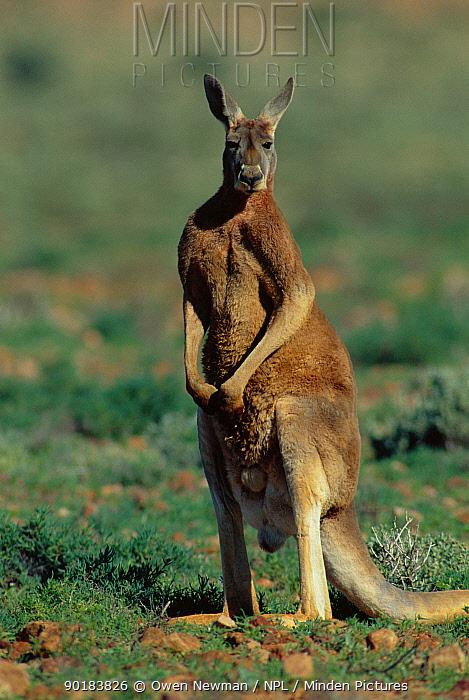 Male Red kangaroo standing tall (Macropus rufus) Sturt NP, New South Wales, Australia  -  Owen Newman/ npl