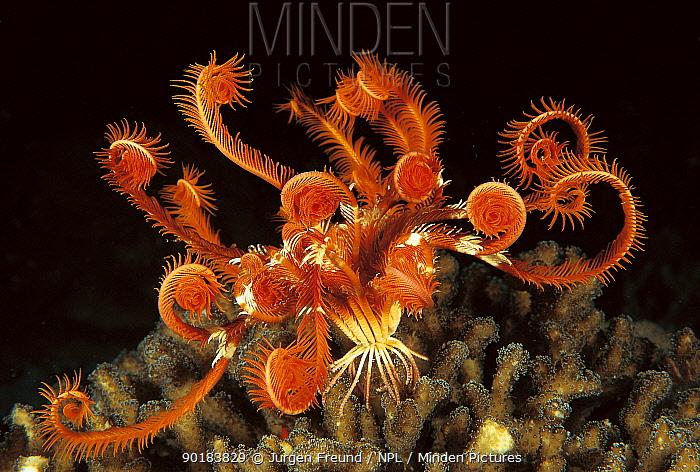 Feather star (Lamprometra sp) Indo Pacific  -  Jurgen Freund/ npl