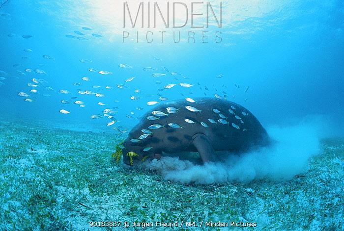 Dugong grazing on sea grass (Dugong dugon) Indo Pacific  -  Jurgen Freund/ npl