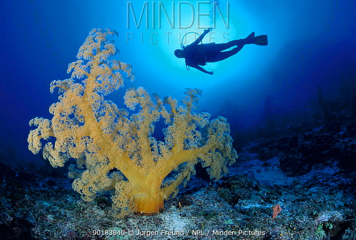 Diver and soft coral (Dendronephthya sp) Great Barrier Reef, Queensland, Australia  -  Jurgen Freund/ npl