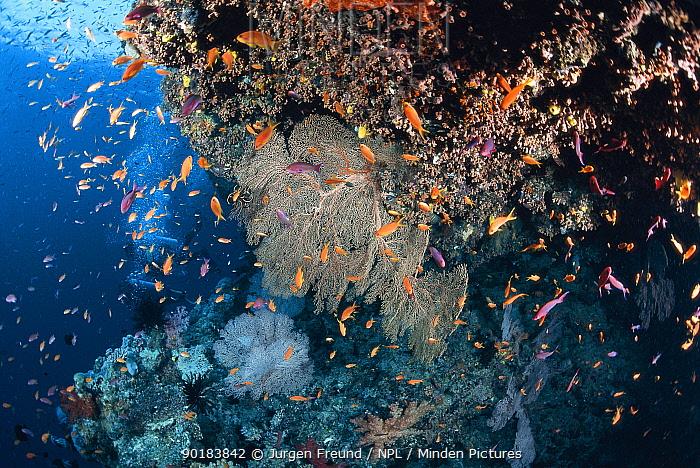 Coral reef with anthias bassletts and fan corals, Great Barrier Reef, Queensland, Australia  -  Jurgen Freund/ npl