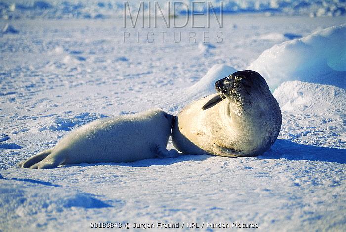 Harp seal suckling pup on ice (Phoca groenlandicus) Magdalen Is, Canada, Atlantic  -  Jurgen Freund/ npl