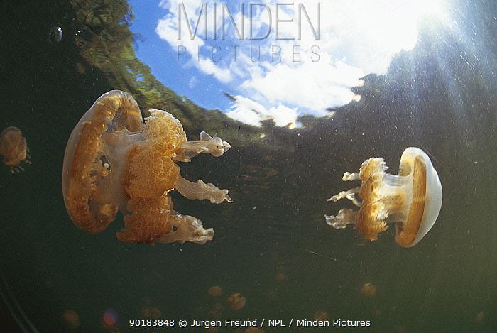 Jellyfish in lake, Palau, Micronesia  -  Jurgen Freund/ npl