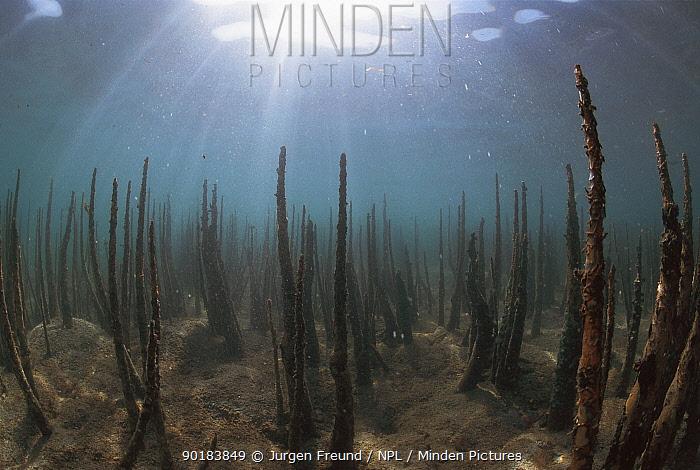 Mangrove roots under water, Indo Pacific  -  Jurgen Freund/ npl