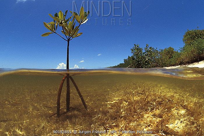 Young mangrove sapling split level showing roots and shoot, Cuba, Caribbean  -  Jurgen Freund/ npl