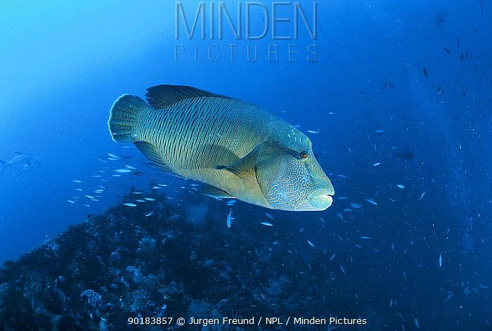 Napoleon (humphead) wrasse (Cheilinus undulatus) Great Barrier Reef, Queensland, Australia  -  Jurgen Freund/ npl